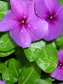 1103-vinca-minor-atropurpurea