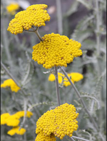 3429-achillea-coronation-gold