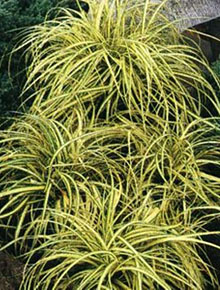 3574-carex-evergold