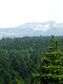 5976-Abies_nordmanniana_by-Paul