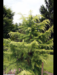 6312-Cedrus_atlantica_Aurea_by-David-Stang